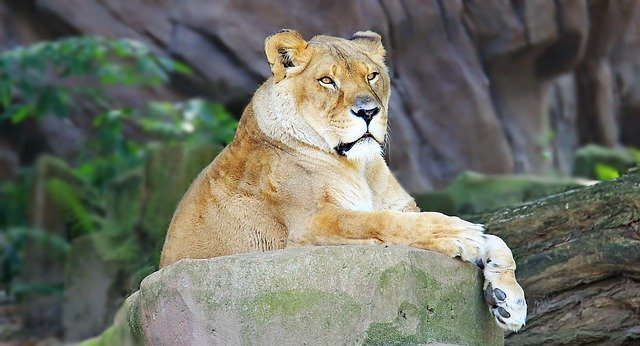 Lion proudly sitting